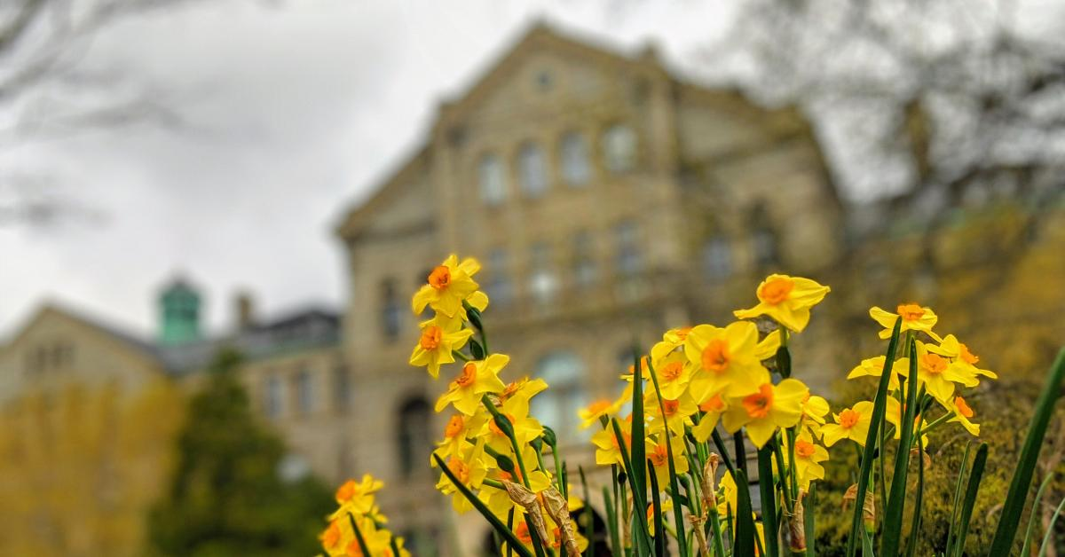 Daffodils in front of McMahon Hall